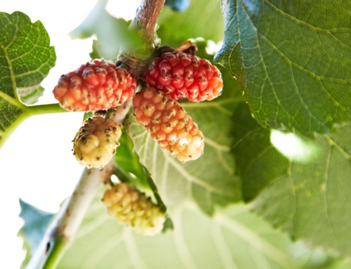 Sorbetto Mulberries recipe, natural flavour